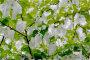 unterm Taschentuchbaum - Bild & Foto von Helga Blüher aus Blatt & Blüte - Fotografie (27930249) | fotocommunity