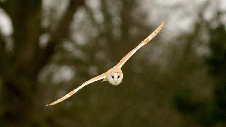 barn-owl-in-flight_2c-north-burlingham_2c-peter-....jpg