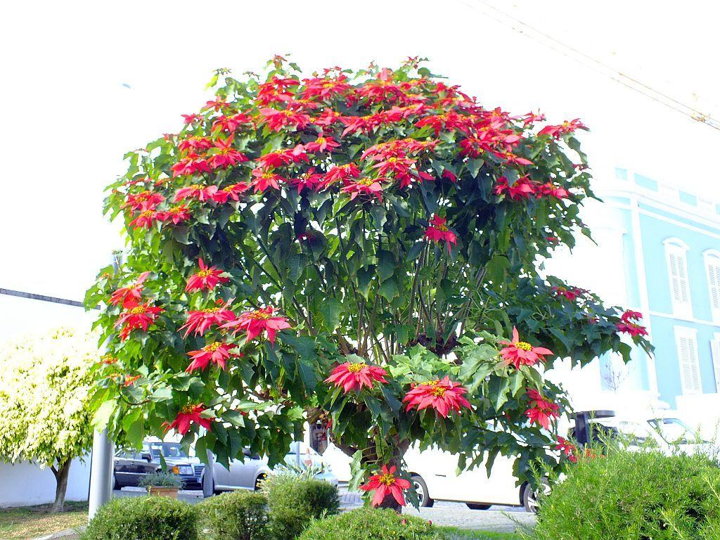 weihnachtssternbaum.jpg