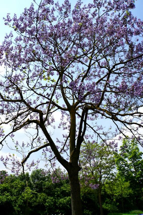 blauglockenbaum_1.jpg