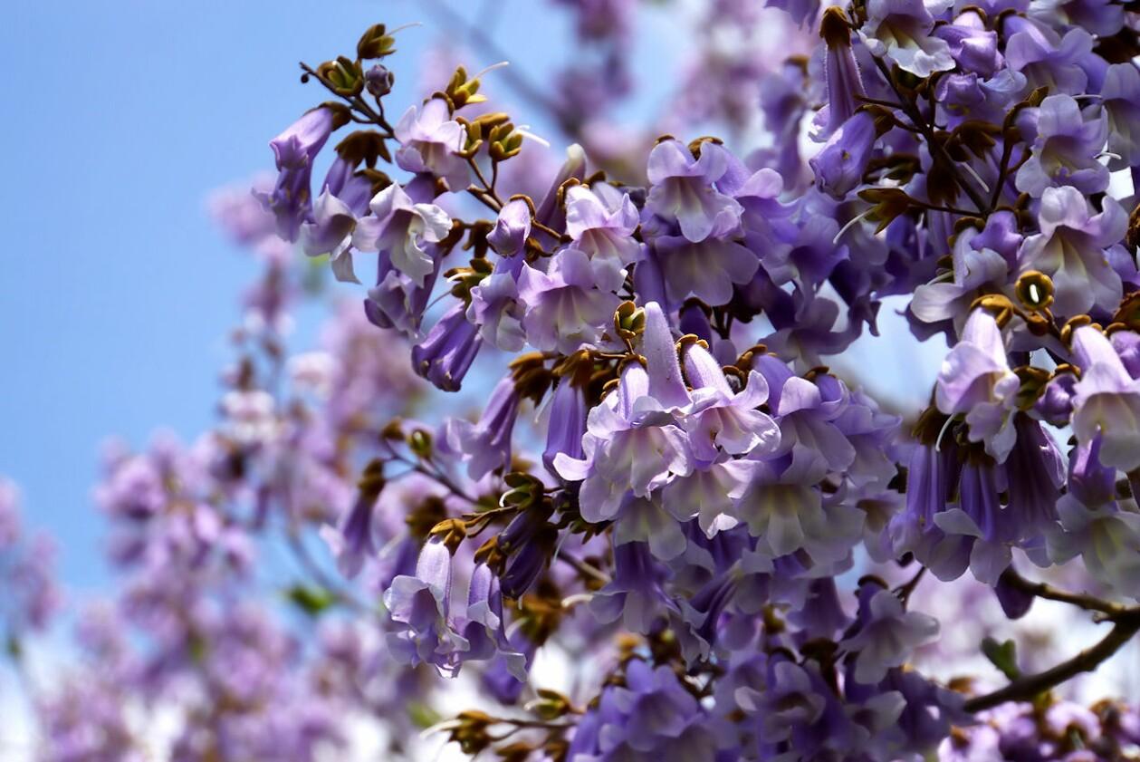 blauglockenbaum_2.jpg