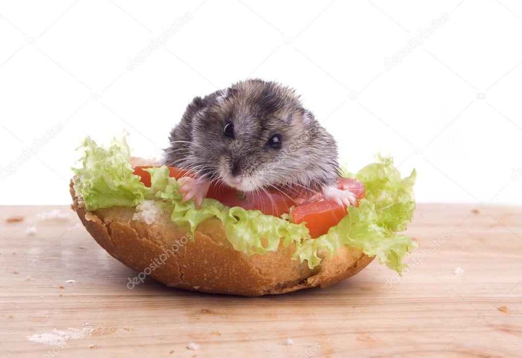 depositphotos_5199646-stock-photo-hamster-....jpg