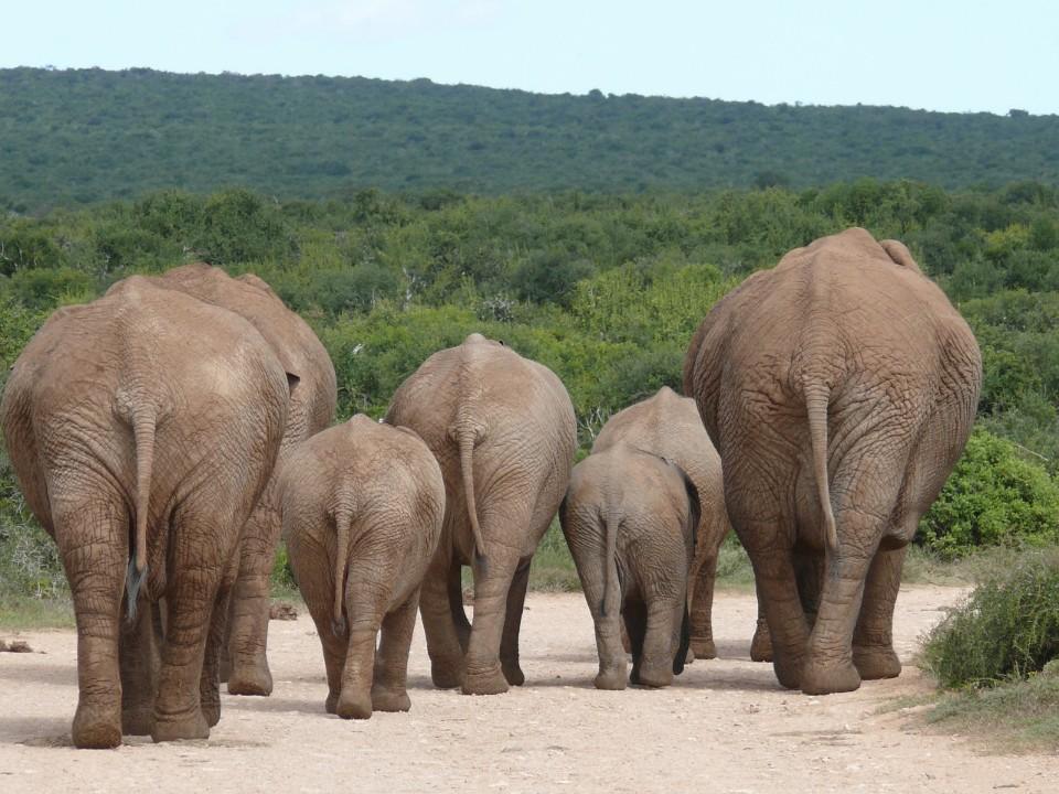 elefantenr__cken.jpg