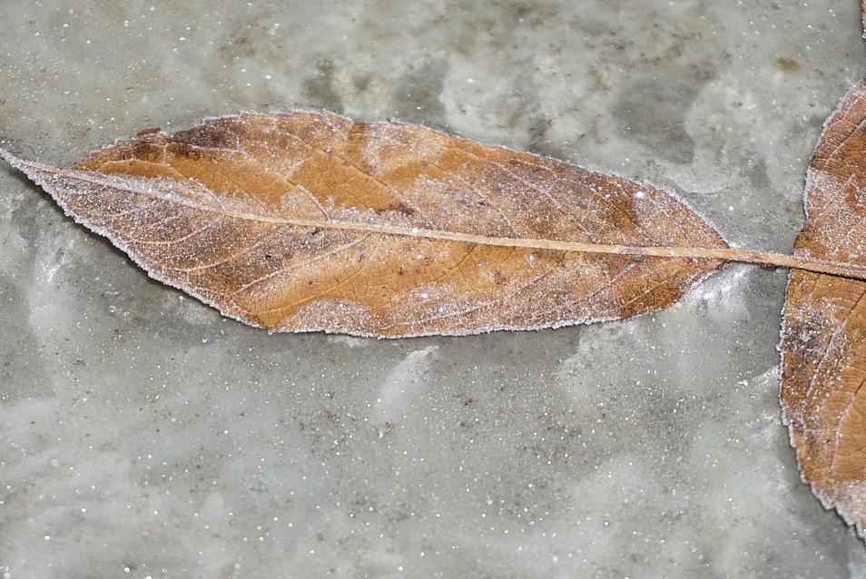 blattfrost.jpg