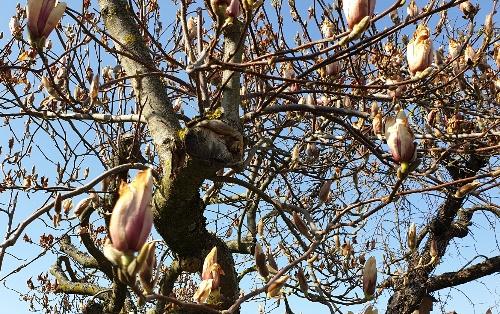 erfroren_magnolien.jpg