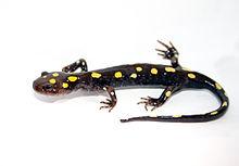220px-spotted_salamander.jpg