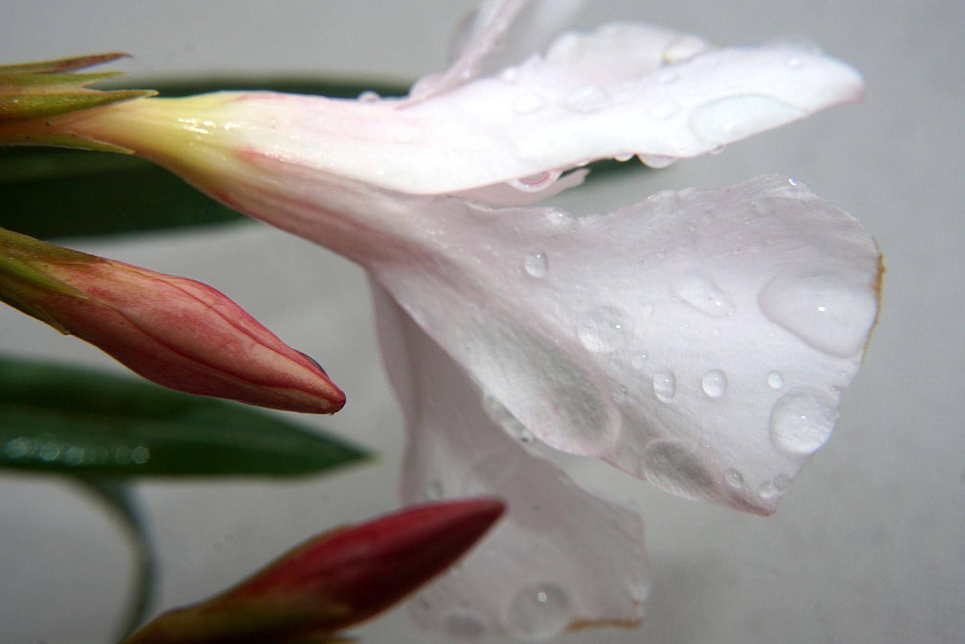 oleander_im_nieselregen.jpg