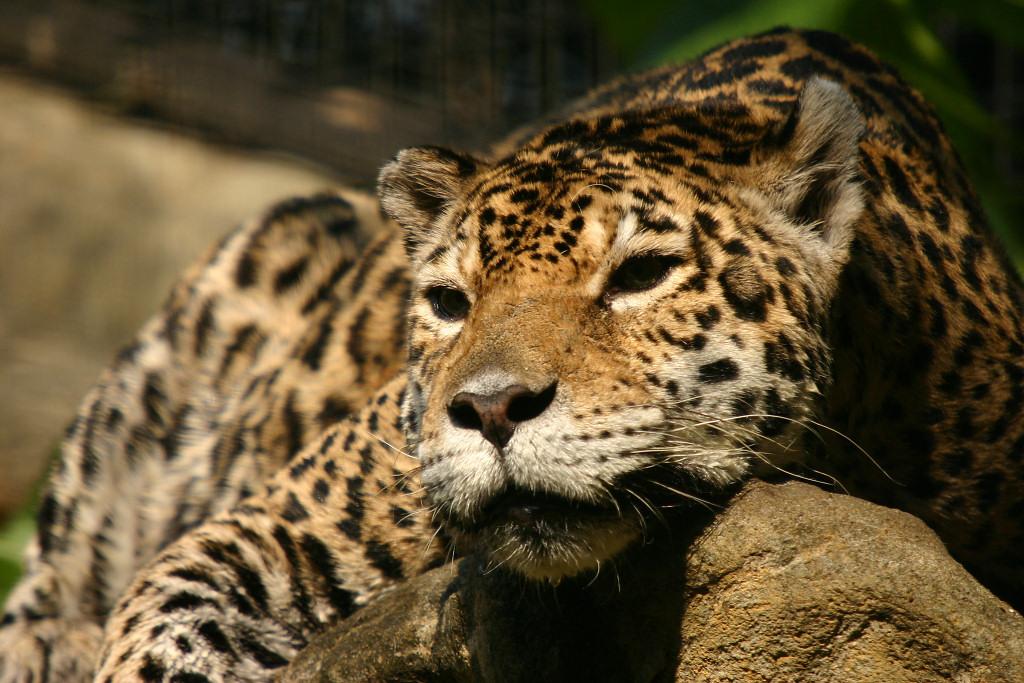 jaguar_08.jpg