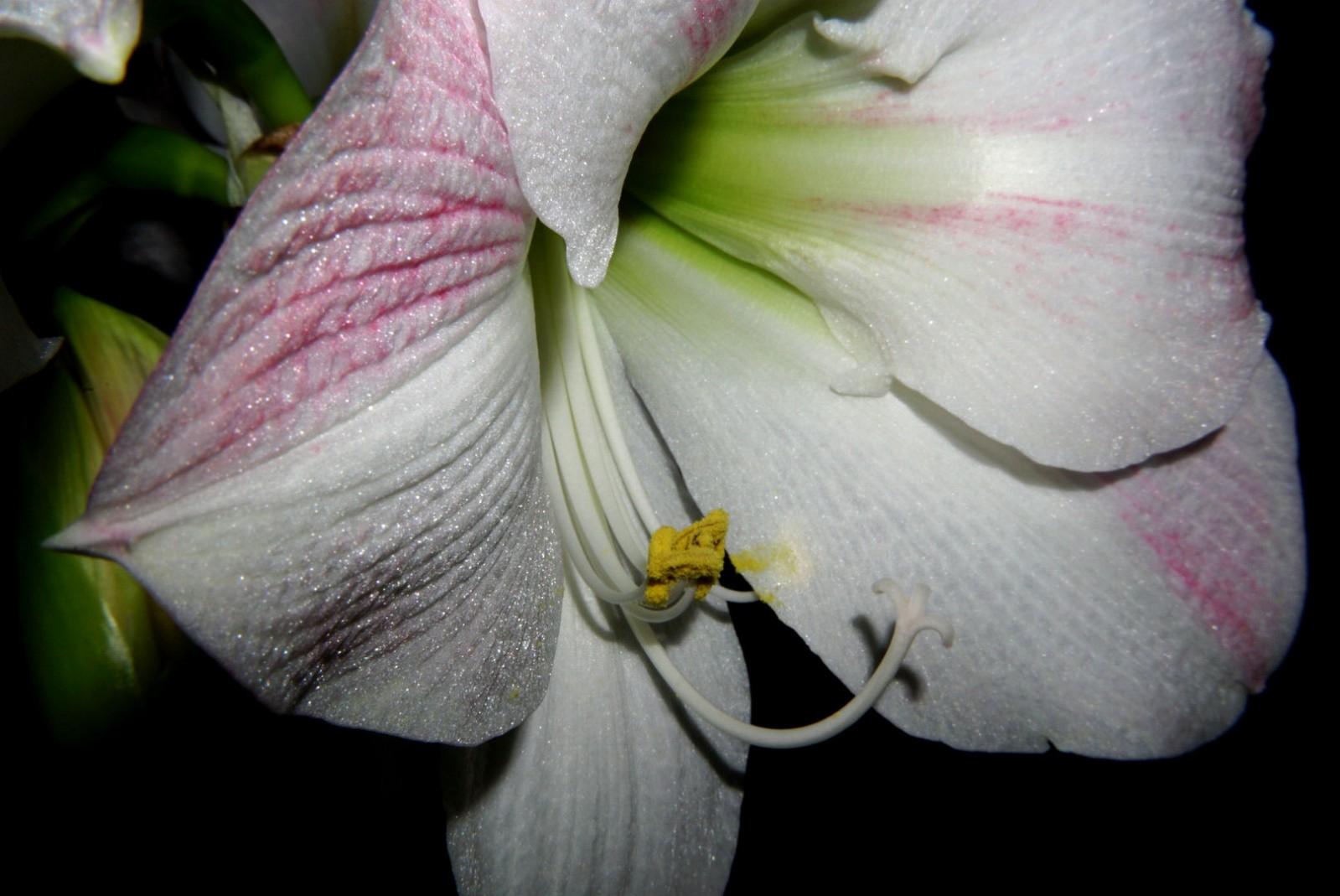 amaryllis_2020.jpg