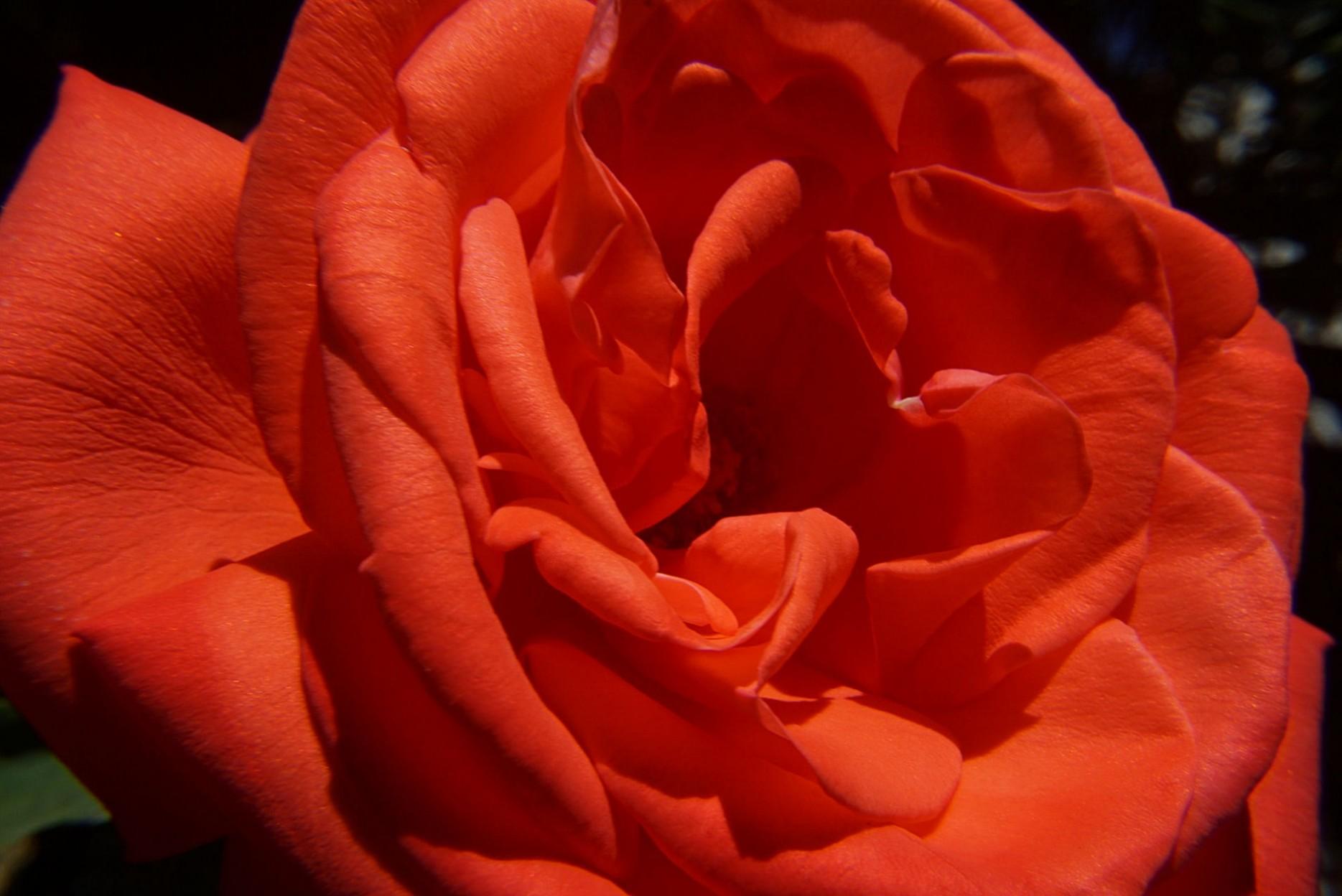 rote_rose.jpg