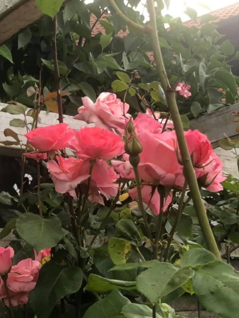 rosen_1.jpg