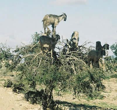 a126_goat2.jpg