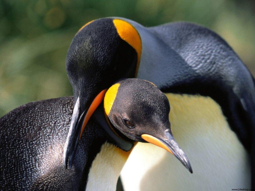 king_penguins_6850_1024_768.jpg