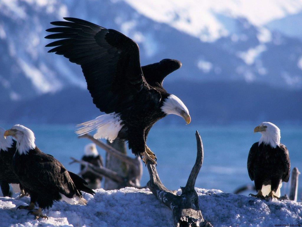 wings_extended_blad_eagles_6705_1024_768.jpg
