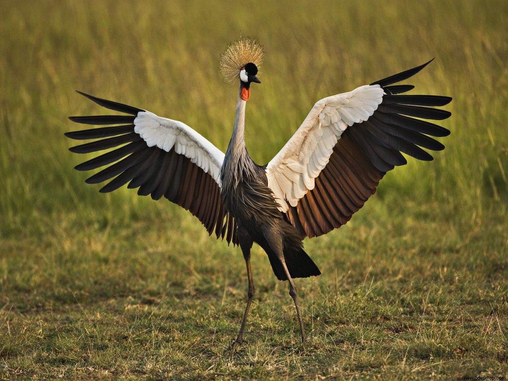 african_crowned_crane_masai_mara_kenya_539....jpg
