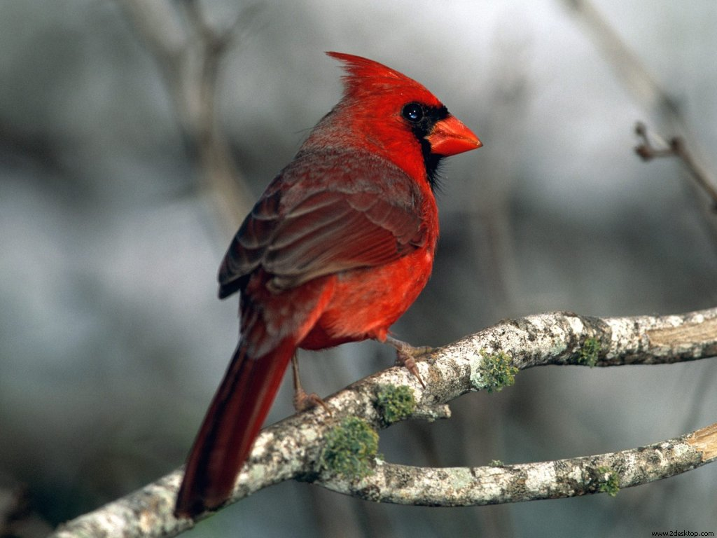 cardinal_6689_1024_768.jpg