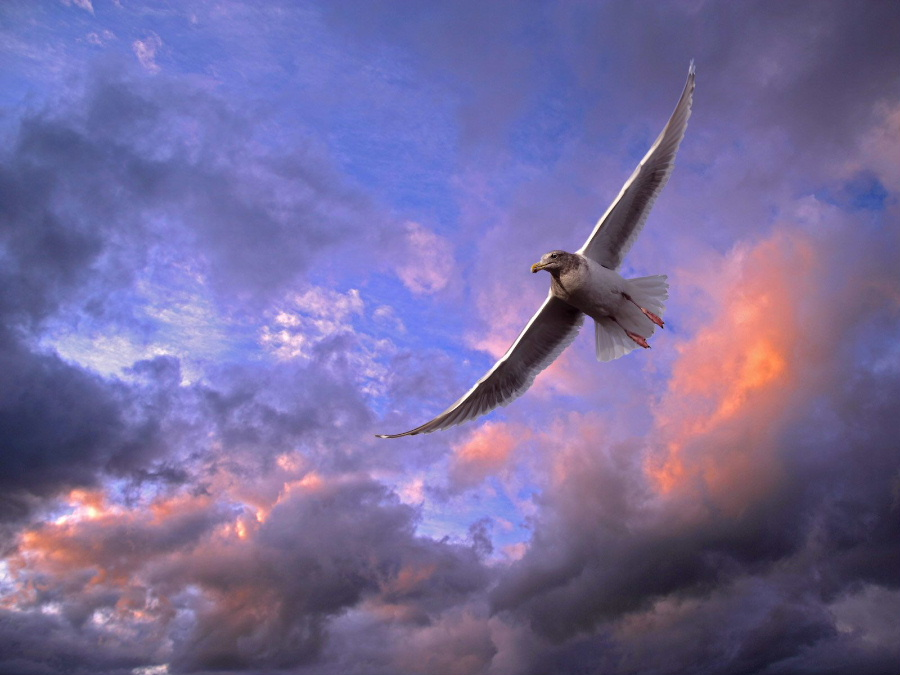 soaring_20gull__20puget_20sound__20washing....jpg
