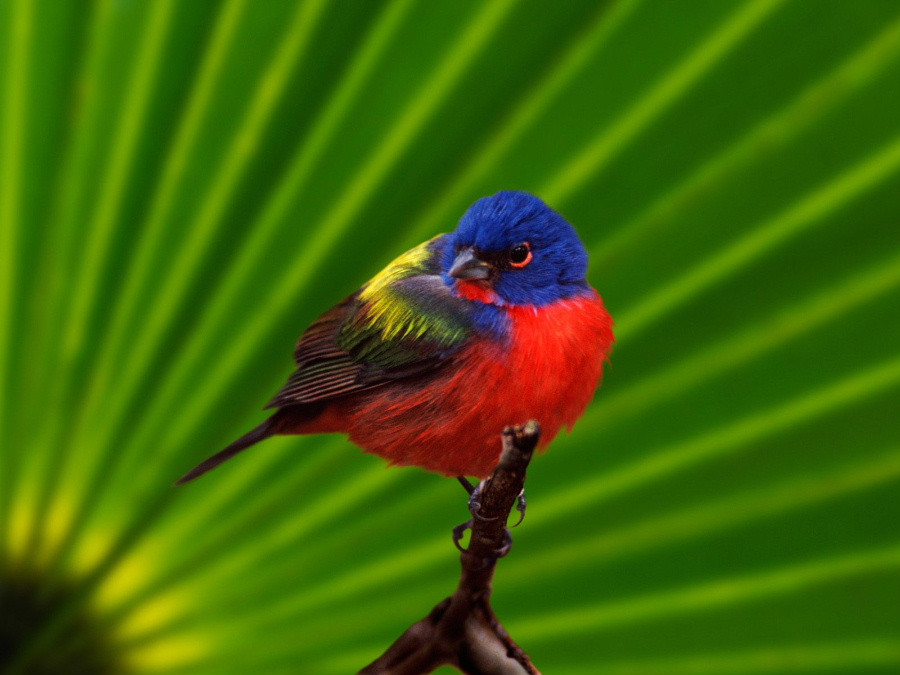 male_20painted_20bunting__20everglades_20na....jpg