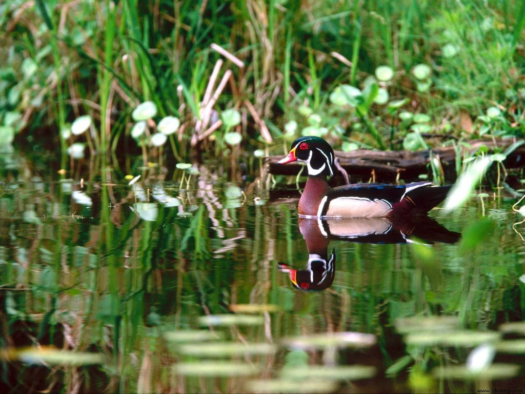 wood_duck_8107_1024_768.jpg