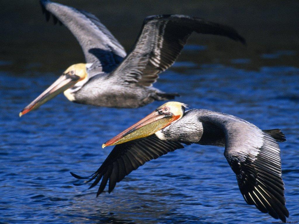 brown_pelicans_in_flight_7697_1024_768.jpg