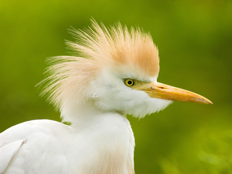 cattle_egret_florida-1024x768.jpg