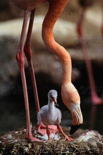 Flamingoküken.jpg