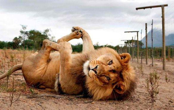 cute-lion-on-its-back.jpg