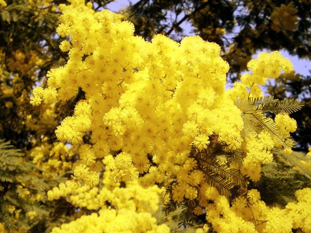 mimose.jpg