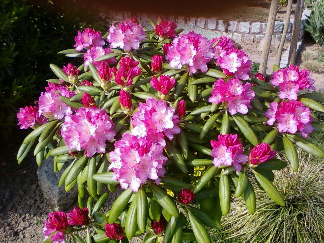 15rhododendron.jpg