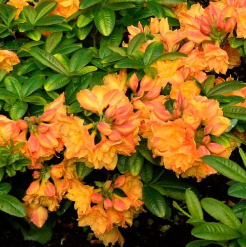 1-rhododendronluteumcsrds.jpg