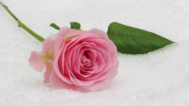 rose-3142660__340.jpg