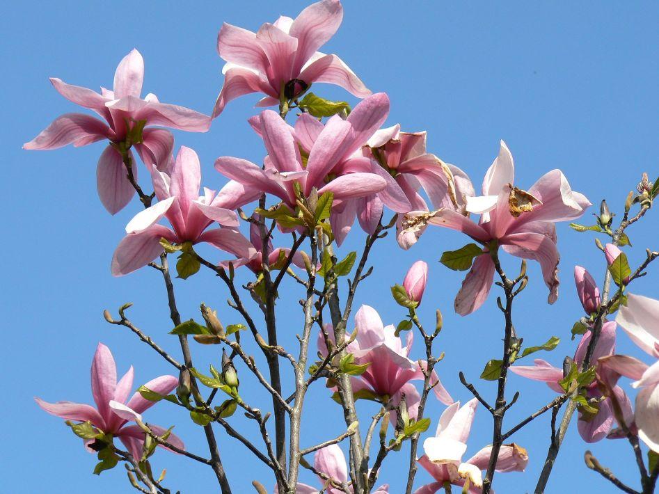 magnolien.jpg