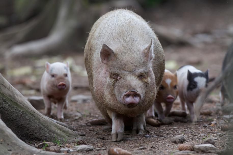 schweinchen.jpg