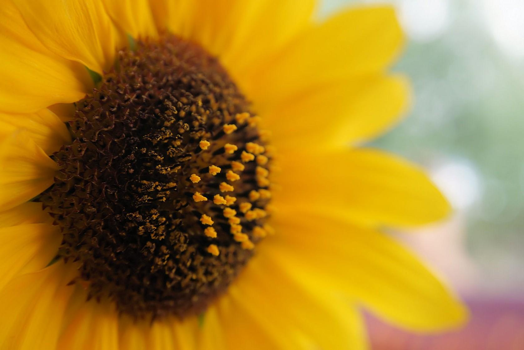geschenk-sonnenblume.jpg