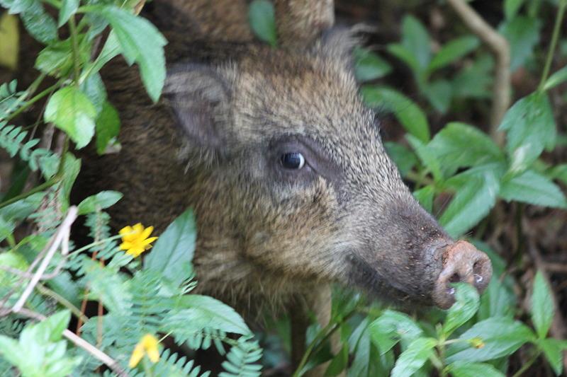 ryukyu-wild-boar.jpg