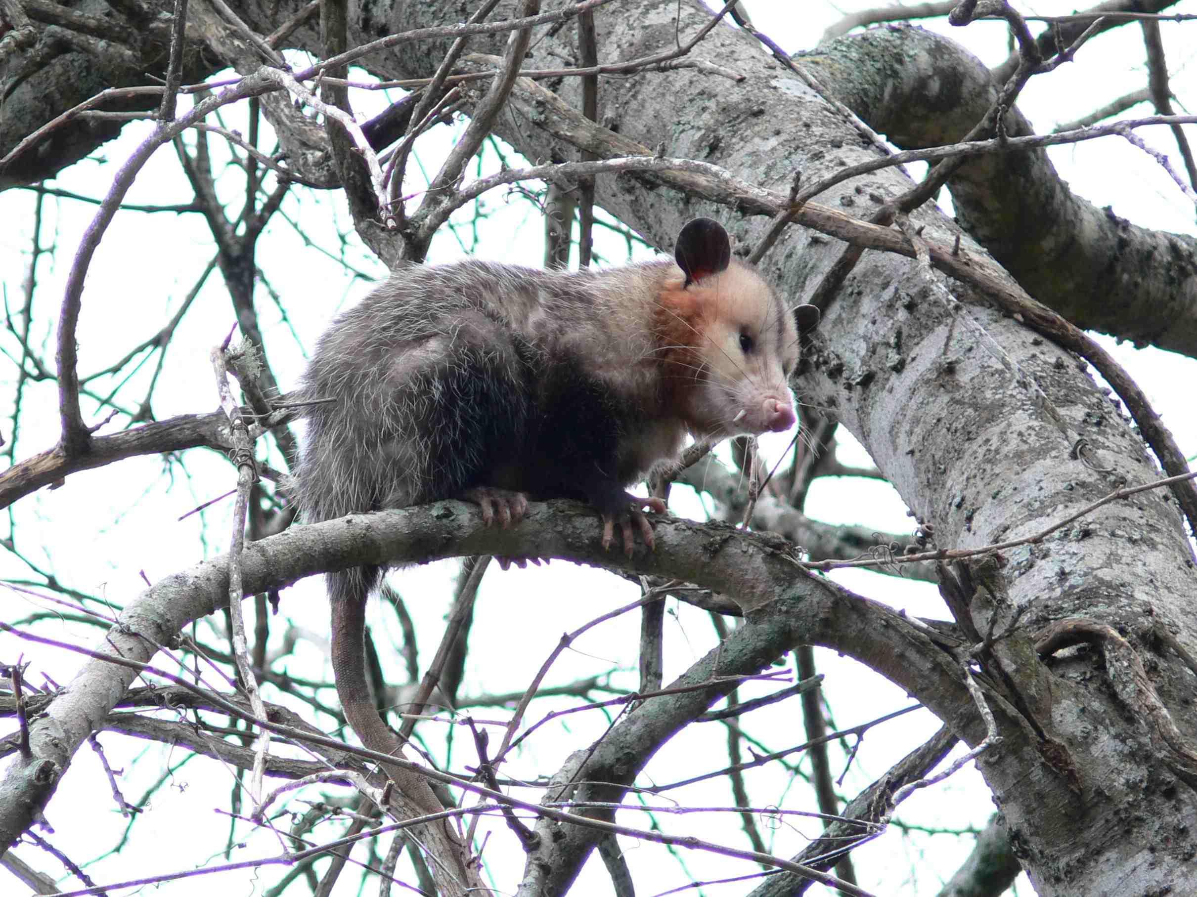 nordopossum.jpg