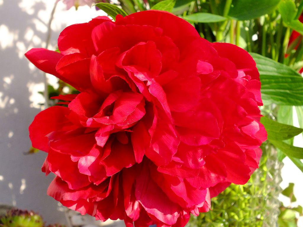 rose-rot.jpg