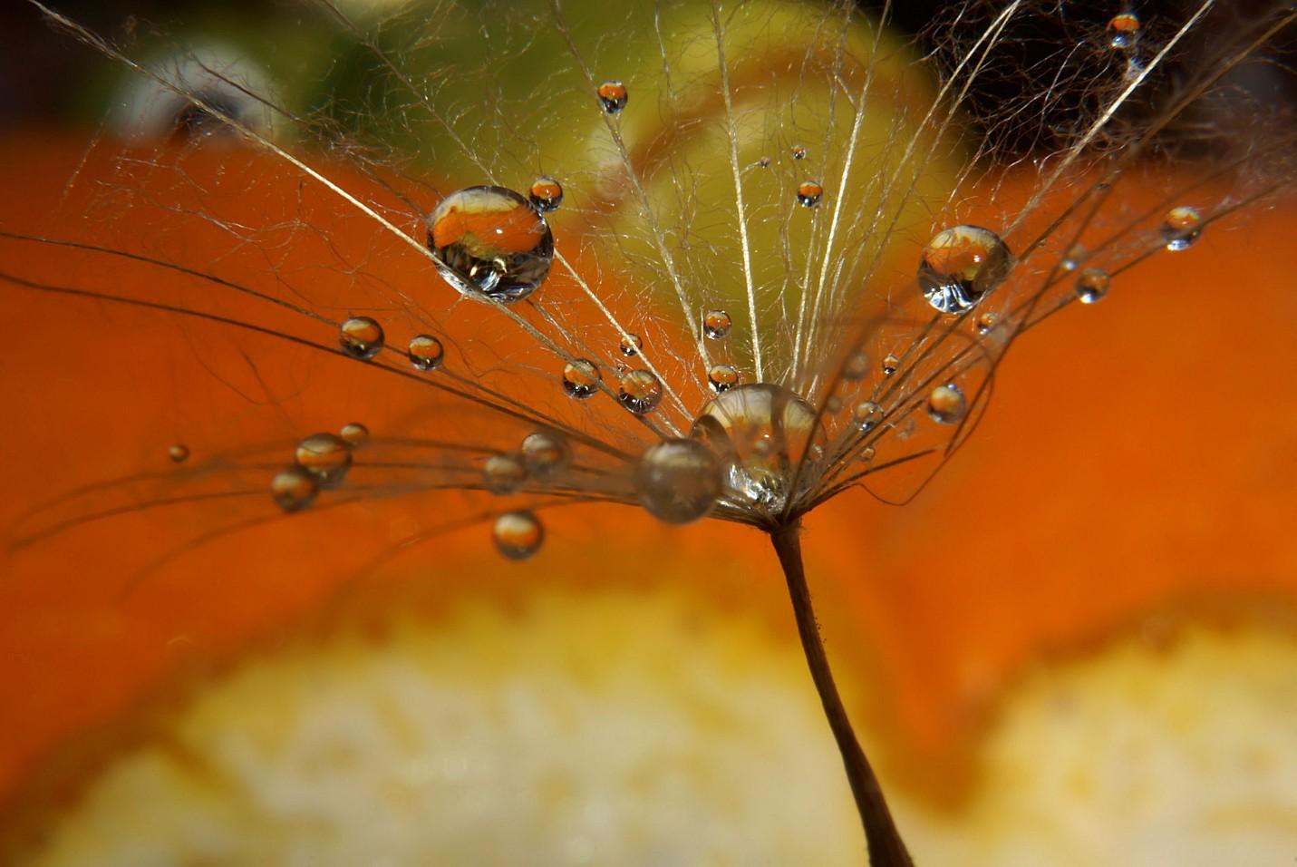 wiesenbocksbartpusteblume.jpg