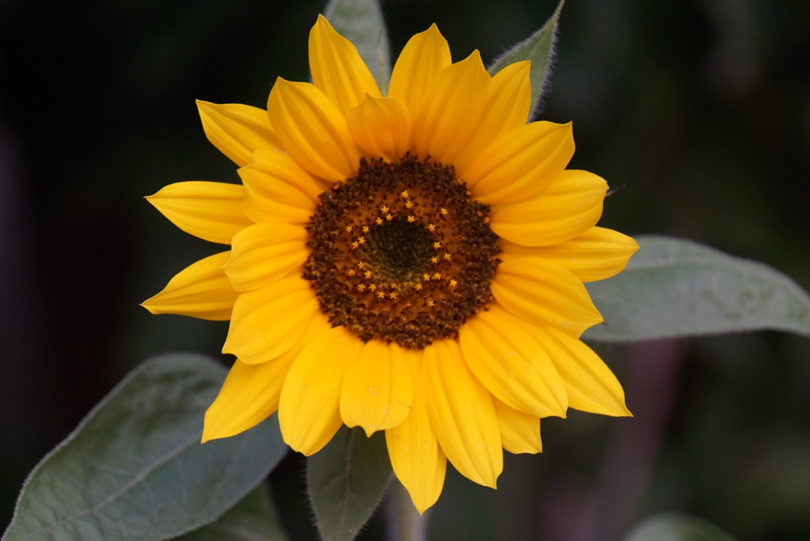 kleine_sonnenblumen.jpg