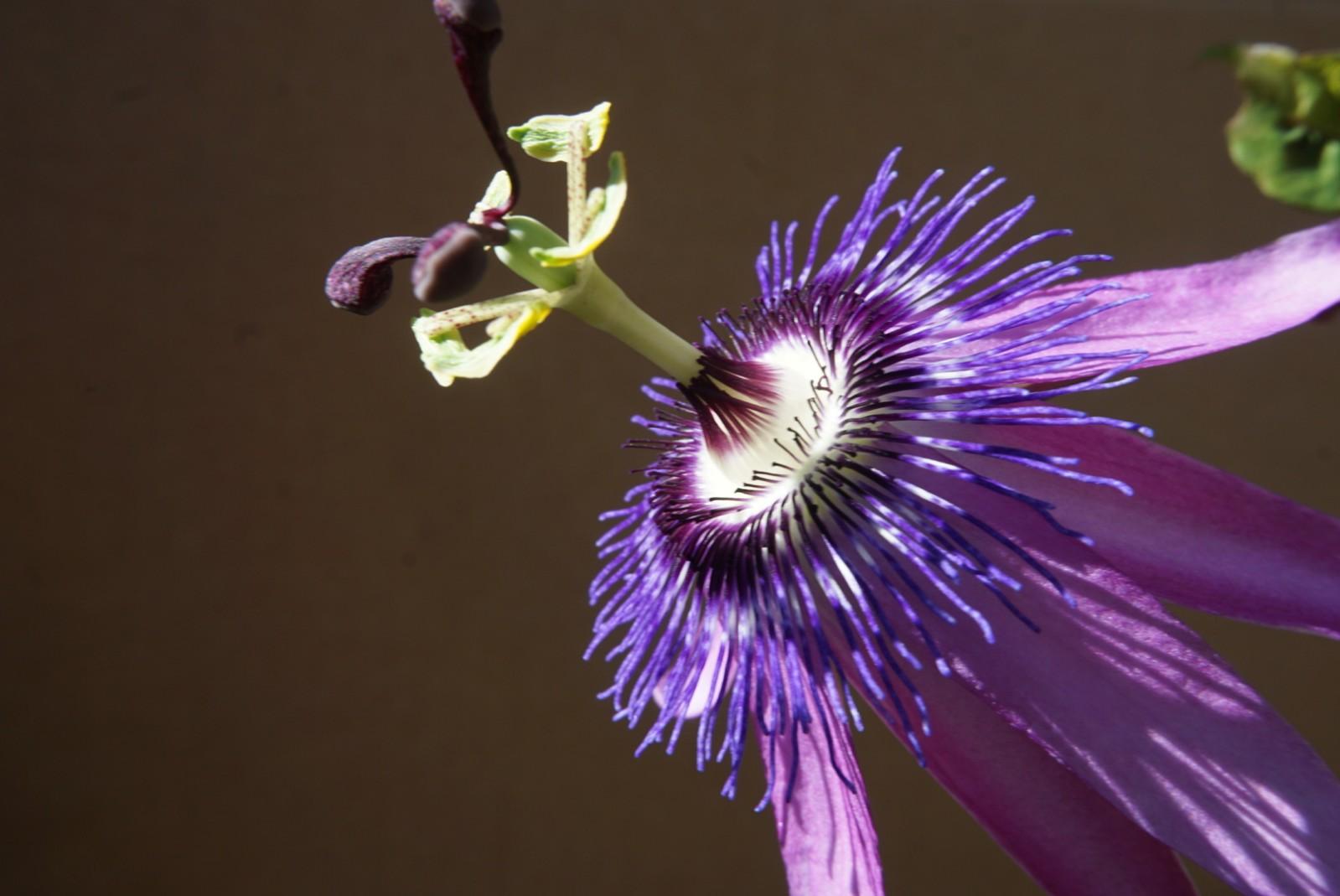 passiflora_3.jpg