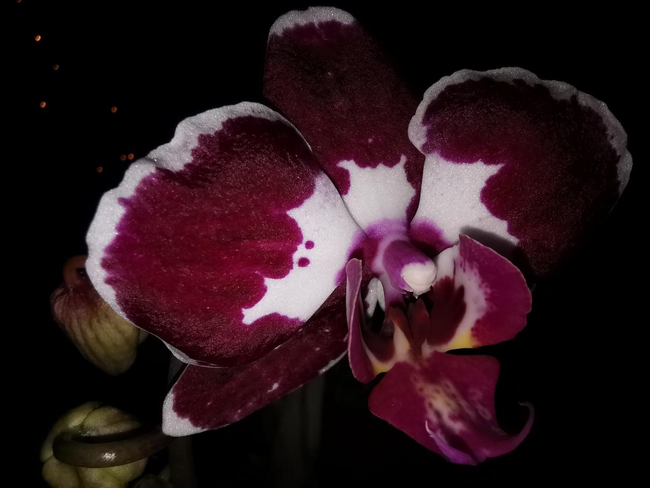orchidee_jan_2021.jpg