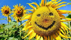 imagessonnenblume.jpg