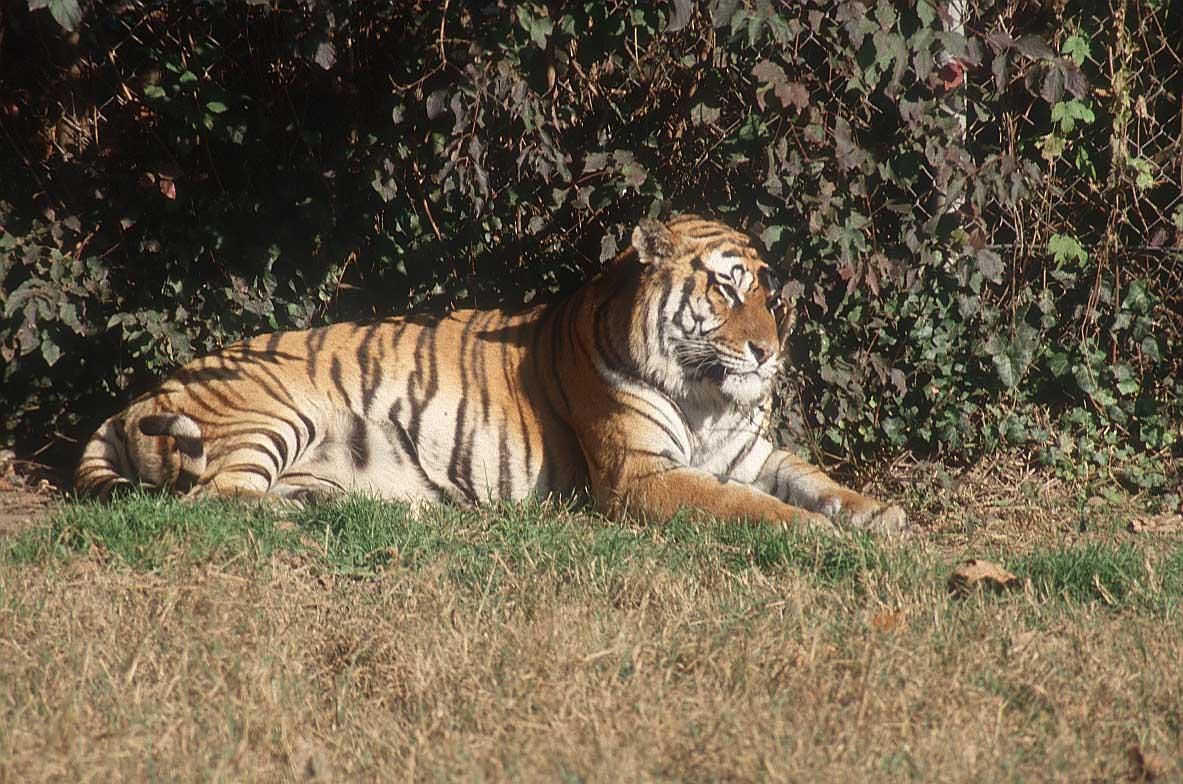 tiger_21_ruhend.jpg
