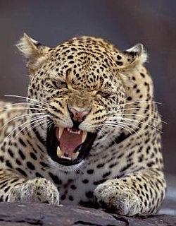 leopard_03.jpg