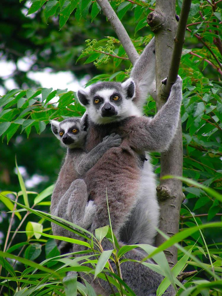 lemuren_05__2_kattas_duisburg.jpg