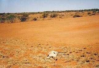 outback_roadkill.jpg