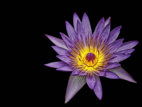 platz_38___seerose_-_fotograf_sunflower81_-....jpg