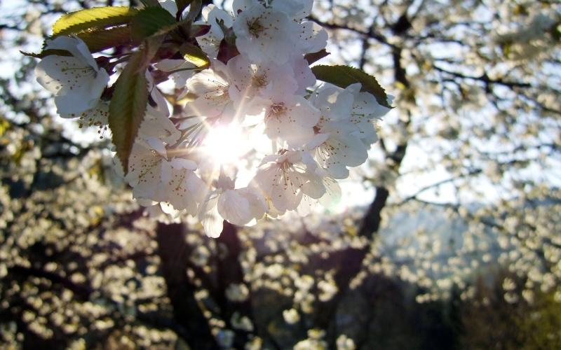 cherry-flowers-wallpapers_12944_1280x800.jpg