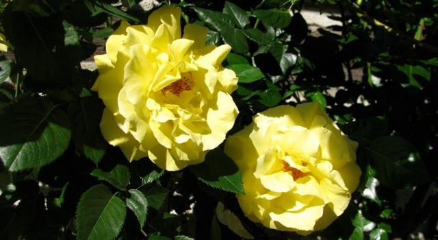 gelbe_rose.jpg