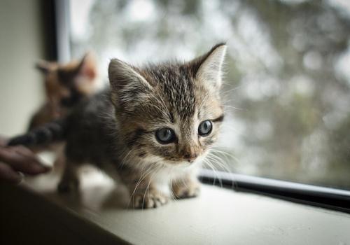 dwarf-kitten-01.jpg